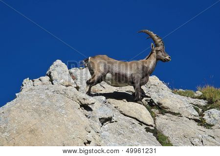 Young alpine ibex standing on a rock. poster