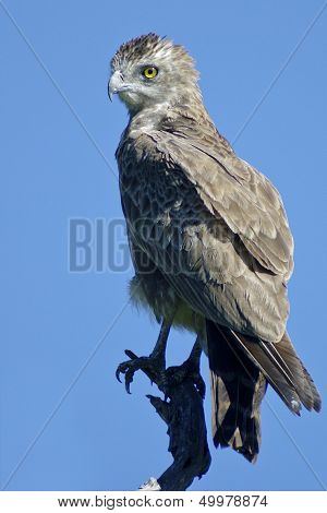 Brown Snake Eagle perched