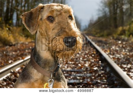 Airdale Terrier On Railroad Tracks