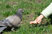 Little child is feeding a pigeon by hand poster