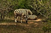 Zebras from South African safari one of them staring directly at the camera poster