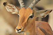 A common Impala ram twists his mouth and a grin is formed.  Close-up taken in the wilds of Africa. poster