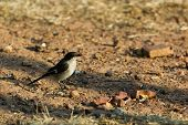 Single juvenile Fiscal Flycatcher sitting on the ground poster