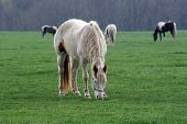 a horse eating in a pasture ** Note: Slight graininess, best at smaller sizes poster