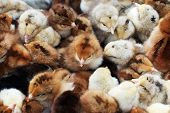 Many coloured newborn baby chickens. Only several days old. poster