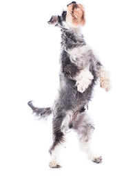 Agile Schnauzer Standing On His Hind Legs