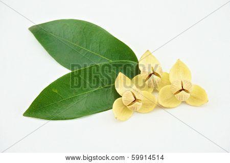 Devil Tree With White Background