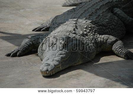 The Huge Crocodile