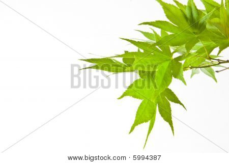 Green Japanese leaf branch