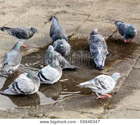 Pigeons enjoying in a pool with rainwater poster