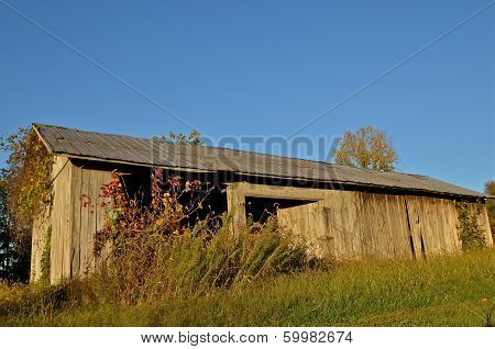 Vines Around an old Weathered Shed