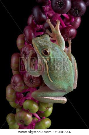Green Frog On Berries