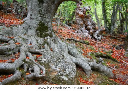 Autumn in beechen grove.
