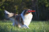 Rough Collie or Scottish Collie over nature background poster