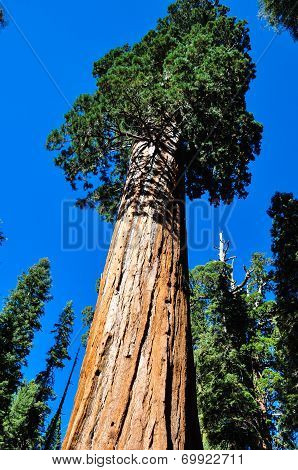 One Of The Biggest Sequoia Tree In The World, Sequoia National Park, California, Usa poster
