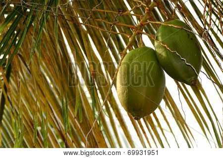 Two coconuts in tree with leaves