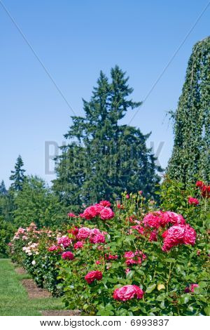Roses And Evergreens At A Shallow Depth Of Field Vertical
