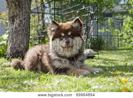 Puppy, 13 weeks frolic and romping Finnish lapphund on the lawn. Building and a cage in the background. poster