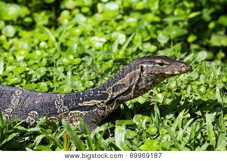 Monitor Lizard ( Varanus Salvator ) Live In The Lumpini Park In Bangkok, Thailand