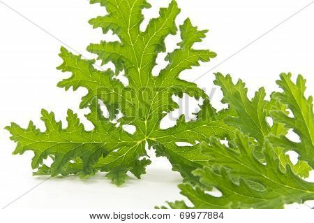 All natural citronella plant mosquito repellant leaves on white