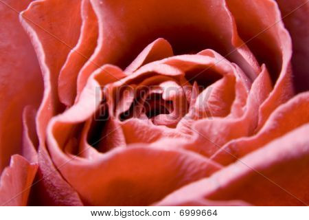 Close Up Of A Pink / Red Rose