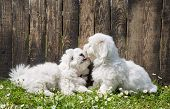 Big Love: Two Baby Dogs - Coton De Tulear Puppies - Kissing With Tongue.
