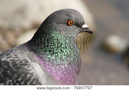 common dove