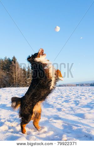 Playful bernese mountain dog  catching a snowball poster