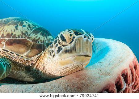 Green Turtle resting on a barrel sponge