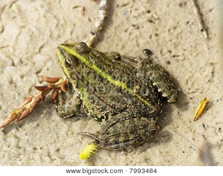 Frog On The Sand