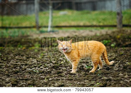 Meowing Adult Red Cat Against Outdoor Countryside Background. Spring Time poster
