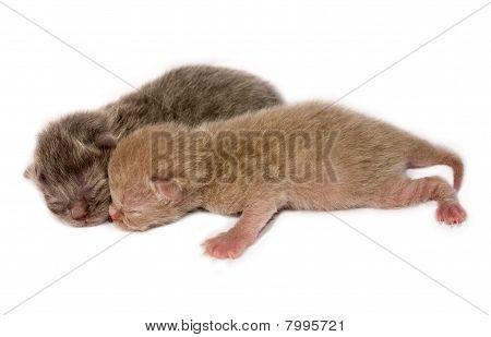 New Born British Shorthair Kittens