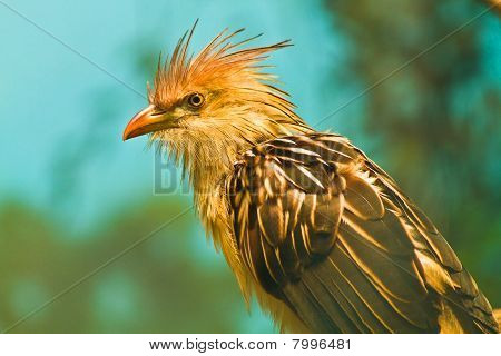 African cuckoo