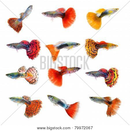 Set Of Beautiful Guppy Isolated On Black Background