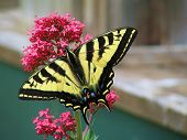A yellow butterfly on a flower. poster
