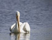 A Pelican swims alone in a lake during mating season. poster