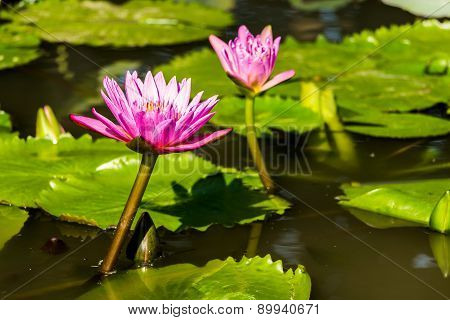 Beautiful Purple Water Lilies Floating In The Pond.