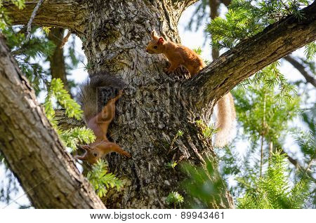 A Couple Frolicking Squirrels On The Trunk Of  Spruce.