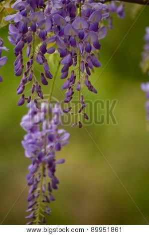 Purple Wisteria Blooms Against Green Background