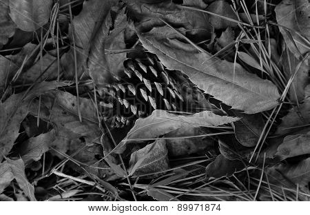 pine nut on dry leaves
