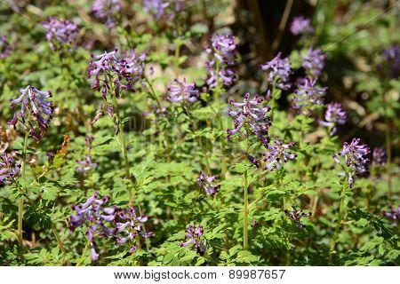 Corydalis Incisa Flowers