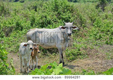 Thai Cows