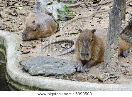 Two Capybara Sitting On Ground