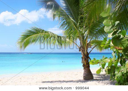 Saona Island Palm