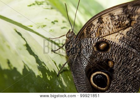 Owl Butterfly Over Green Leaf