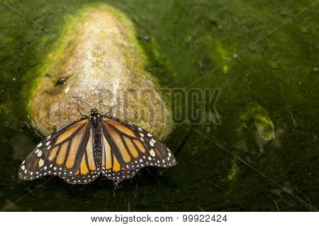 Monarch Butterfly Perched Over Green Pond
