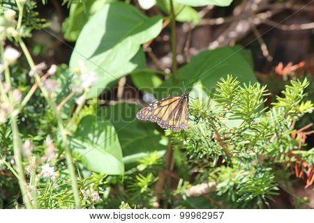 Monarch on Evergreen Branch