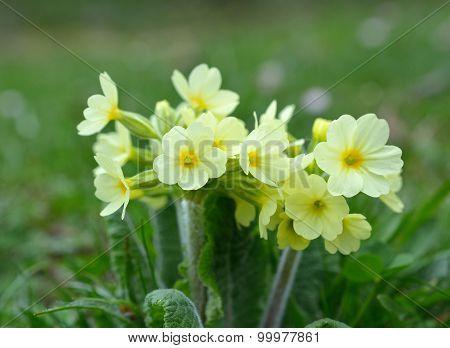 Cowslip (Primula veris) flowers