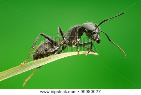 Macro Of Ant Sitting On Grass Top