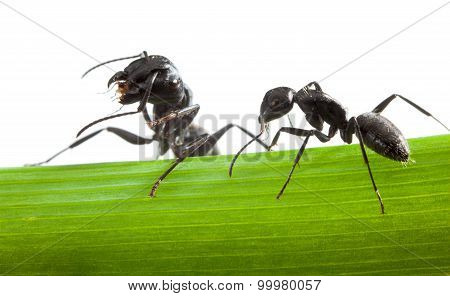 Macro Of Two Ants On Grass Blade